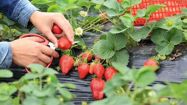 K šetrné sklizni jahod můžeme použít i menší nůžky.