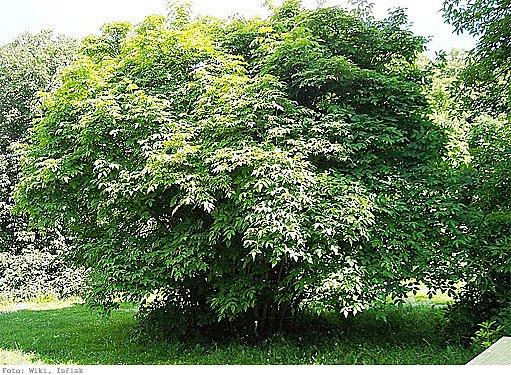 klokoč zpeřený (Staphylea pinnata)