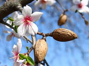 Kvetoucí mandloň