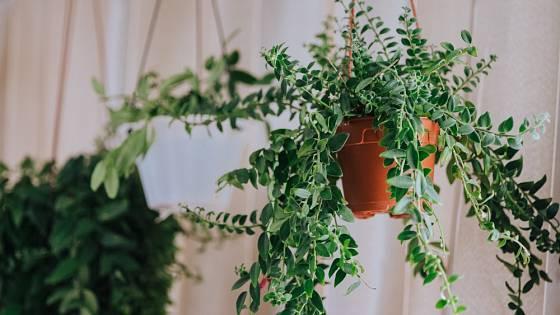 Čím tlustší listy rostlina má, tím méně vody v zálivce obvykle potřebuje.