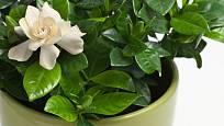 Gardénie (Gardenia jasminoides)