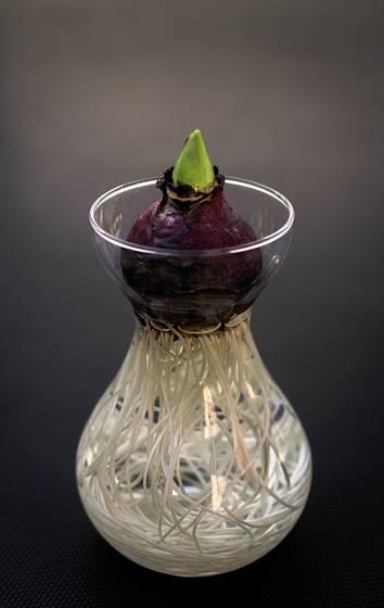 hyacint zakořenil ve sklenici pro rychlení