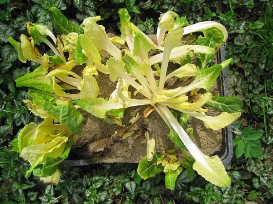 Rašící semenice mangoldu před výsadbou