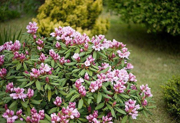 Rododendrony vyžadují dostatek vláhy, aby byly zdravé