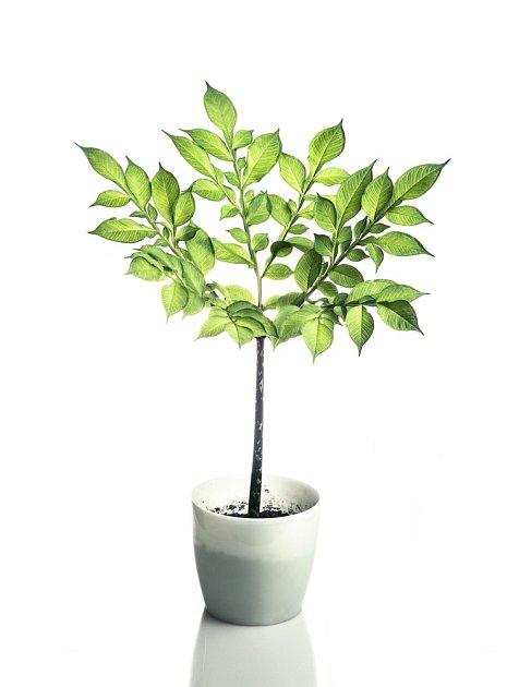 Zmijovec můžeme pěstovat i doma v květináči.