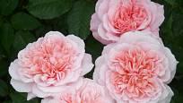 Růže odrůdy Eifelzaber