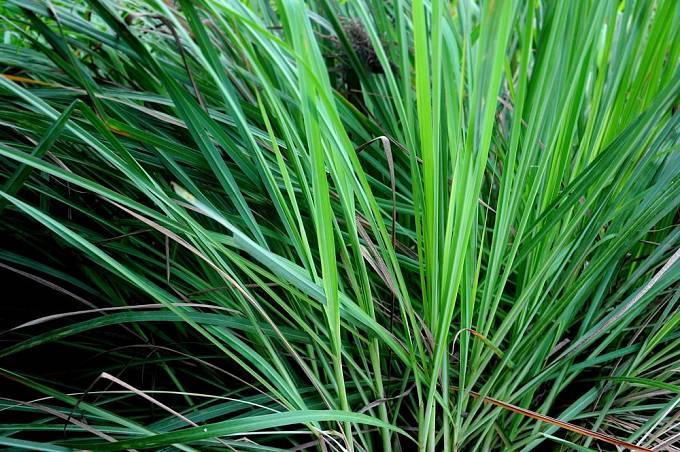 Voňatku, citronovou trávu, lze pěstovat jako přenosnou rostlinu