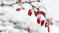 Dřínky rozzáří zasněženou zahradu