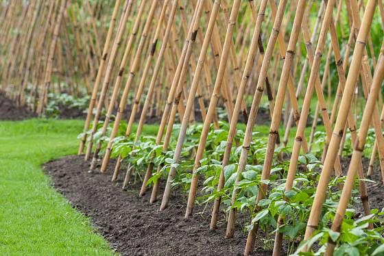 Bambusové opory pro popínavé fazole. Použít můžeme i lískové pruty.