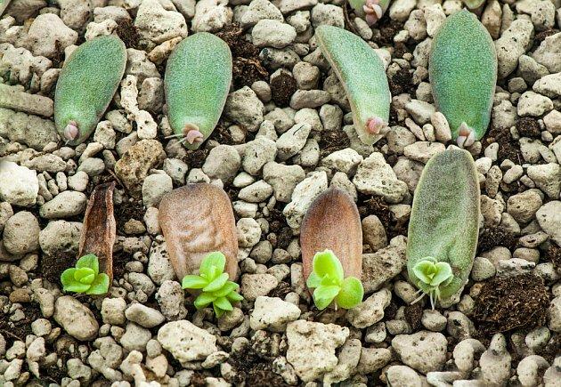 List postupně předává svou sílu nové rostlince
