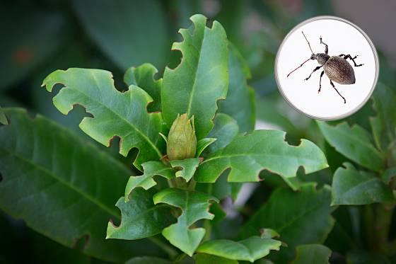 Lalokonosec rýhovaný (Otiorhynchus sulcatus) okusuje listy rododendronů