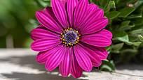 Detail květu ukazuje, jak půvabná dokážou modroočka být.