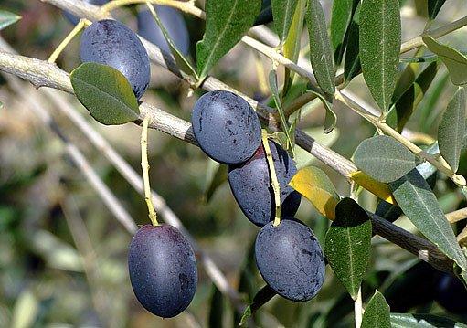 olivovoník (Olea europaea)