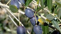 olivovník (Olea europaea)