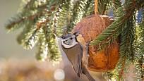 Sýkoru parukářku přilákala lojová směs v kokosové skořápce