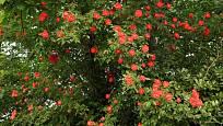 Popínavá růže, díky které koruna stromu rozkvetla