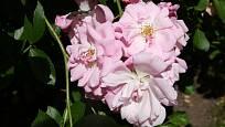 Sadová růže, odrůda Pozdrav z Průhonic