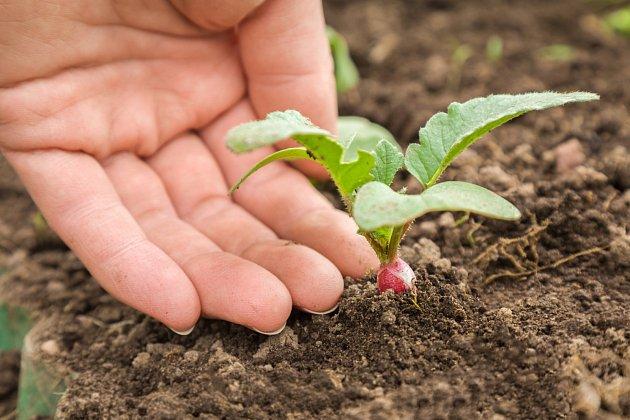 Ředkvičky rostou rychle, zasít je můžete i počátkem září