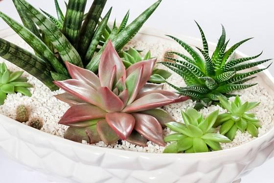 Tenuru lze pěstovat i ve společné výsadbě se sukulentními rostlinami různých typů.