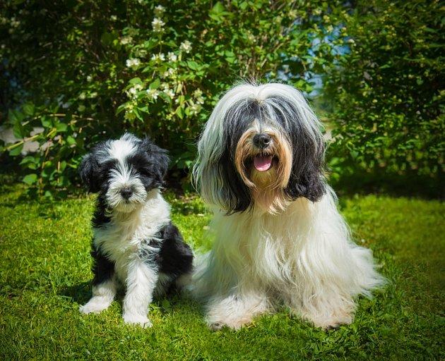Tibetský teriér patří k pohodovým psím společníkům.