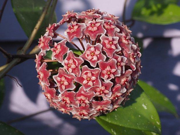 Květy voskovky nádherně voní