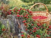 Lahodné brusinky můžeme pěstovat i na zahradě.