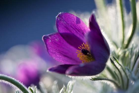 K jaru v botanické zahradě patří také koniklece.