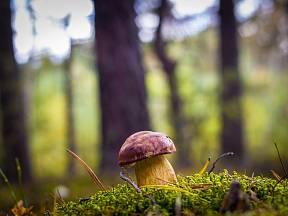 Hřib královský je velmi vzácná a zákonem chráněná houba