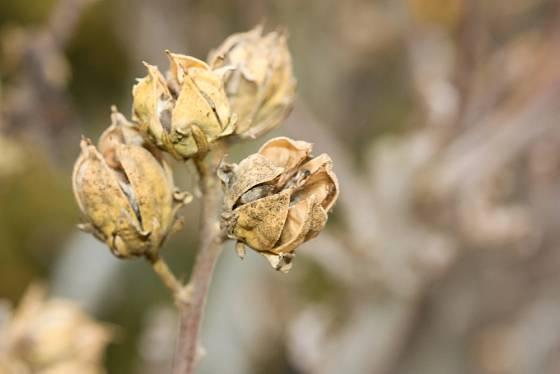 Semeníky ibišku syrského zdobí zahradu v zimních měsících.