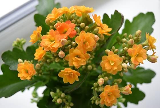 Kalanchoe patří k bohatě kvetoucím pokojovkám.