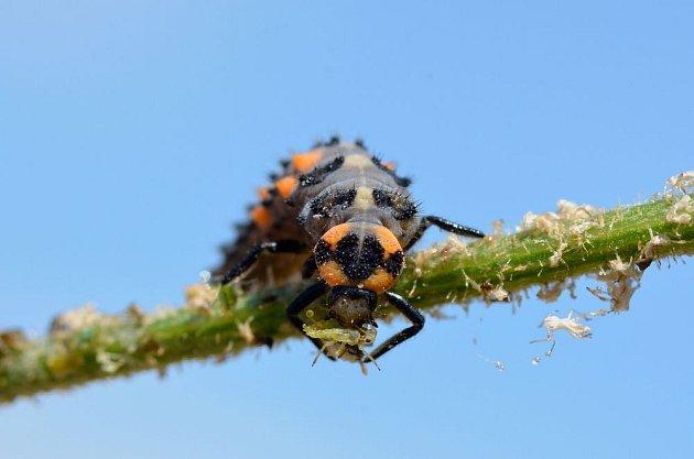 Larva slunéčka při hostině, mšic zlikviduje ohromné množství
