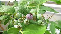 Plody muchovníku budou jako borůvky, až uzrají a zmodrají