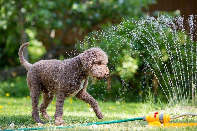 Letní sprška ze zavlažování může být příjemná i pro vašeho psa.
