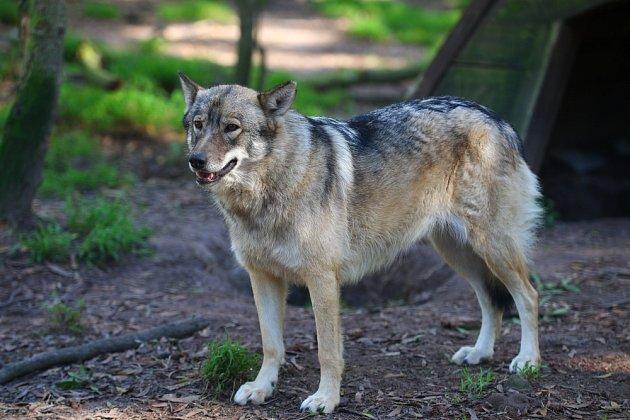 Kříženec psa a vlka