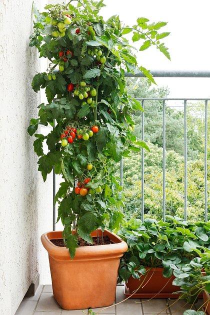 Některé odrůdy rajčat můžeme pěstovat i na balkoně.