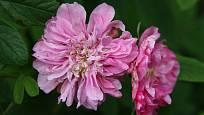 růže empírová, Rosa majalis foecundissima
