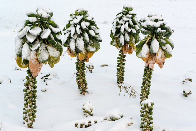 Růžičkové kapustě sněhová peřina svědčí