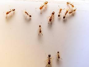 Mravenci jsou už schovaní, vyzbrojte se na příští sezónu bylinkami.