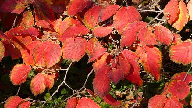 Vilín prostřední (Hamamelis x intermedia) kultivar Hamamelis x intermedia Diane s atraktivně zbarvenými listy.