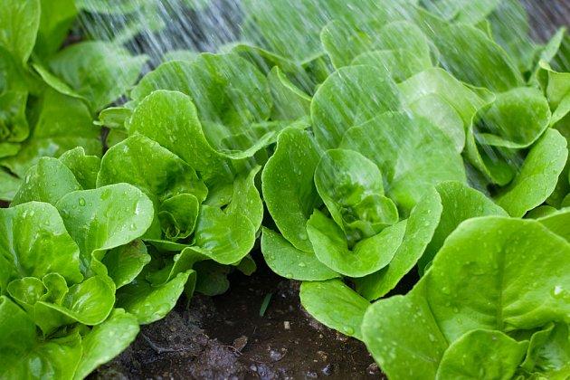 Rostoucí sazenice salátu pro podzimní sklizeň je nutné zalévat