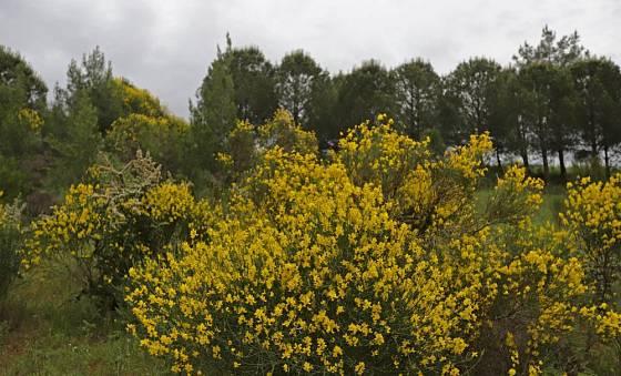 Vítečník sítinovitý (Spartium junceum)