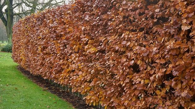 Živý plot z habru obecného, podzimní zbarvení.