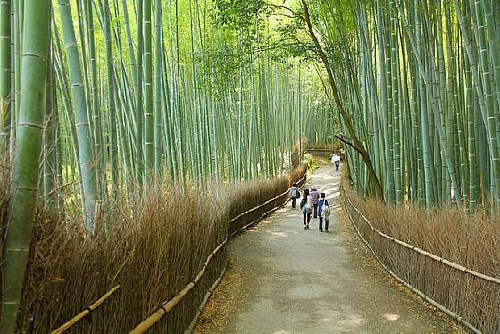 U nás nedorostou do výšek, jako bambusový les v Japonsku