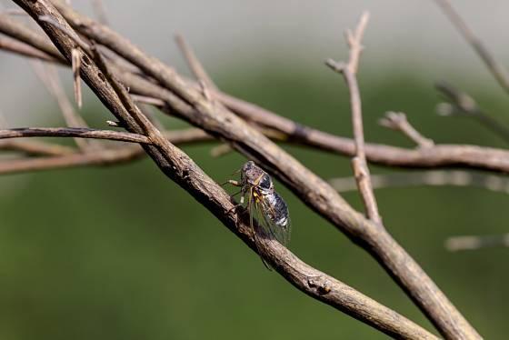 Cikáda viničná (Tibicen haematodes) - naše největší cikáda patří mezi kriticky ohrožené druhy.
