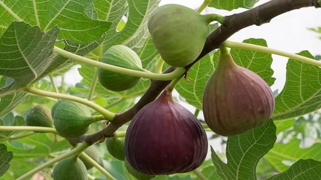 Dozrávající fíky, plody fíkovníku smokvoně.