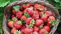 Za péči se jahodníky odmění bohatou úrodou
