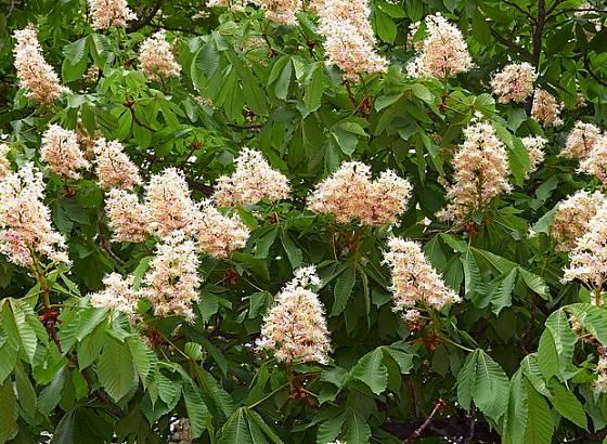 Jírovec maďal v květu