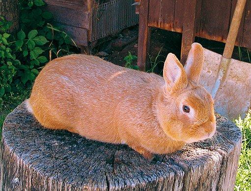 králík žlutý stříbřitý