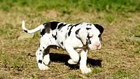 Štěňata německé dogy jsou stejně roztomilá jako všechna ostatní.