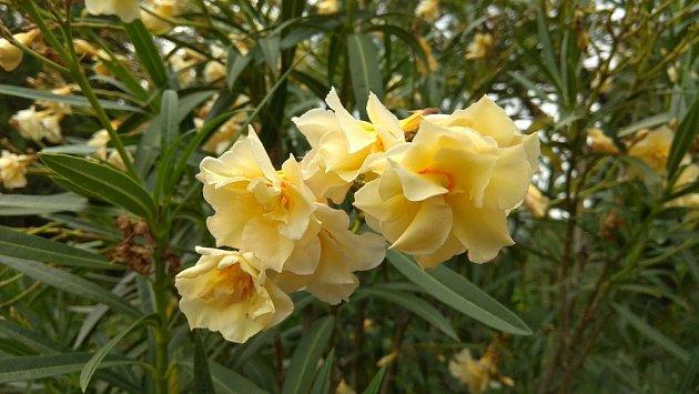 Plnokvětý oleandr se žlutými květy.